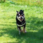 里親-豆柴犬FP012