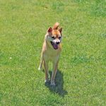 里親-豆柴犬FP014