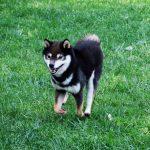 里親-豆柴犬FP015
