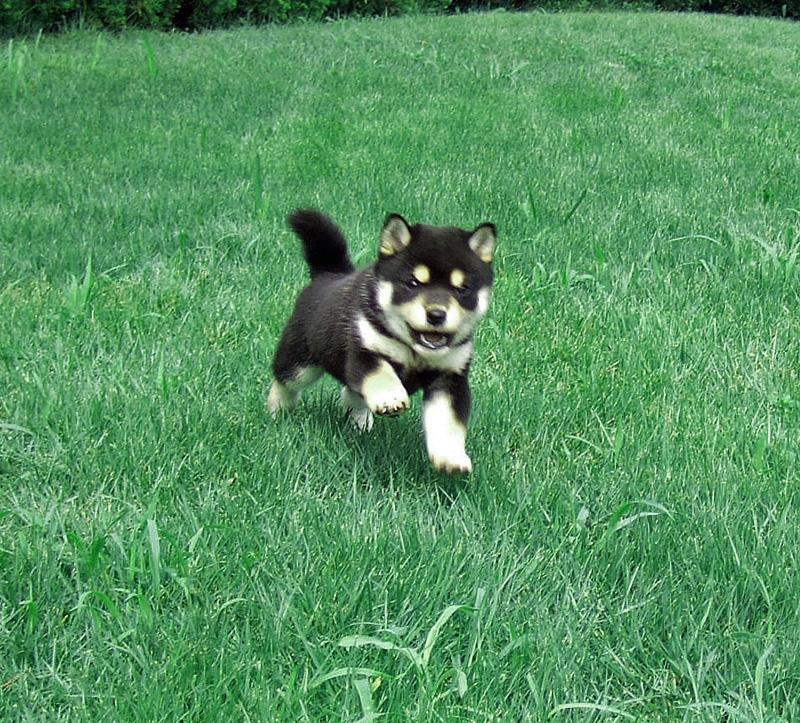 豆柴子犬の価格構成要件。