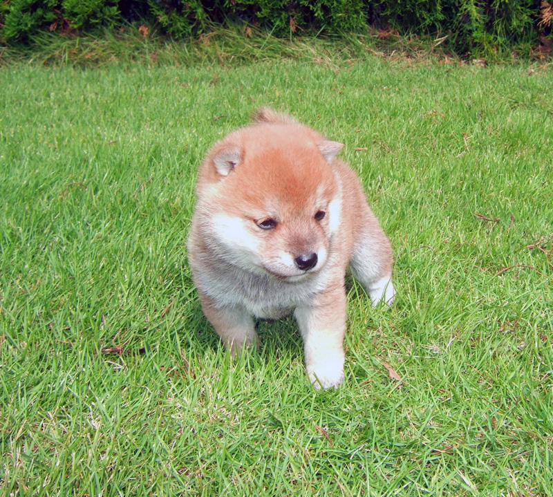 豆柴の子犬の価格構成要件。