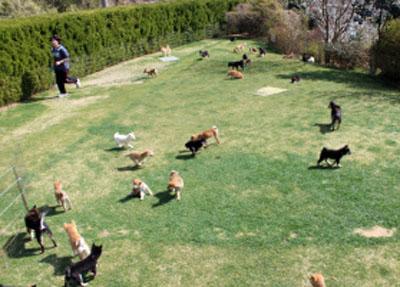 豆柴犬社会性訓育の様子