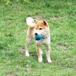 豆柴 訓練犬