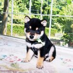 豆柴の子犬 黒 画像 富士野荘