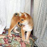 豆柴の子犬 赤ゴマ 画像 富士野荘