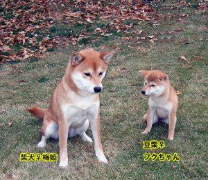 向かって左普通柴の成犬、右は豆柴の成犬