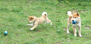 母犬極小豆柴犬 特販-026