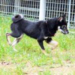 特別販売豆柴犬15-008
