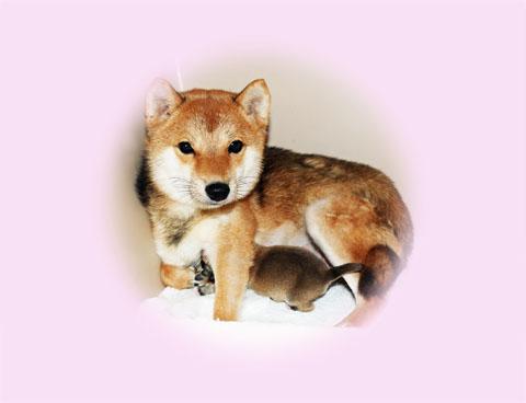 極小豆柴母犬サユちゃん