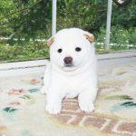 極小豆柴母犬マリモちゃんの子c