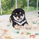 極小豆柴母犬コノミちゃんの子b