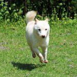 豆柴訓練犬 TR-05