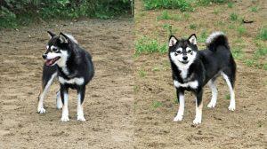 訓練 豆柴犬
