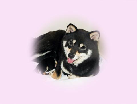 極小豆柴母犬ミカサちゃん