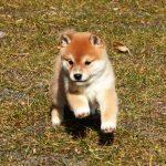 極小豆柴母犬おはなちゃんの子b