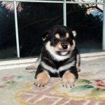 極小豆柴母犬アナちゃんの子b