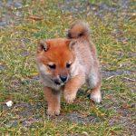 極小豆柴母犬シマちゃんの子b