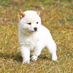 極小豆柴母犬オクラちゃんb