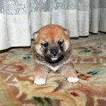 極小豆柴母犬コロモちゃんの子b