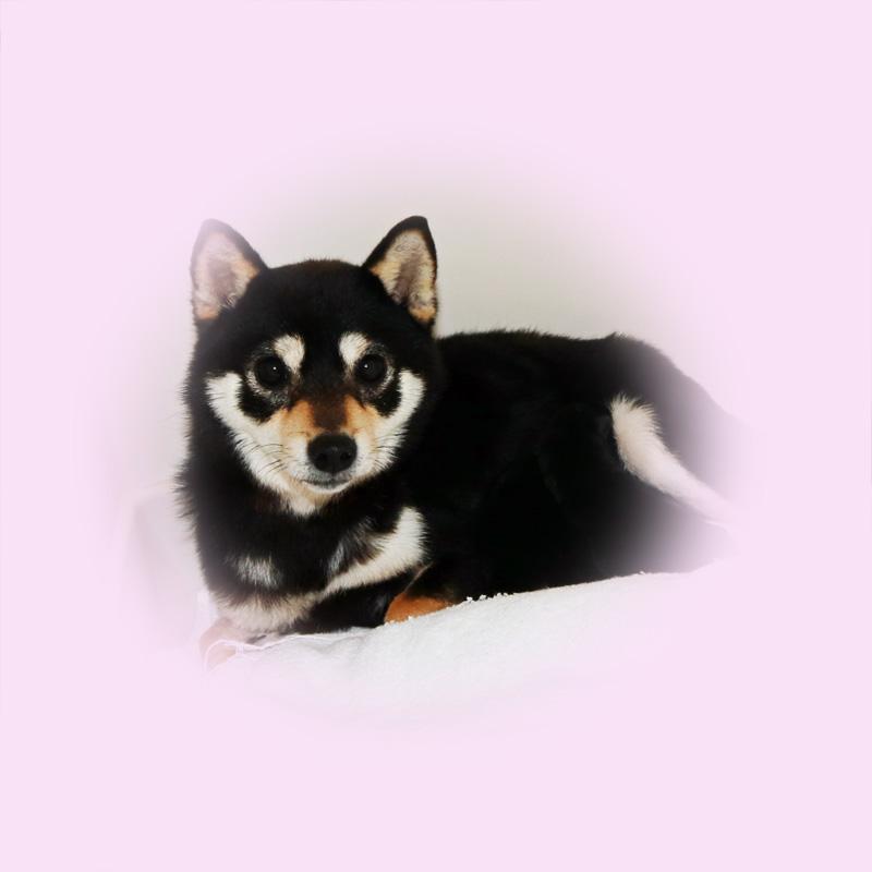 極小豆柴母犬アナちゃん