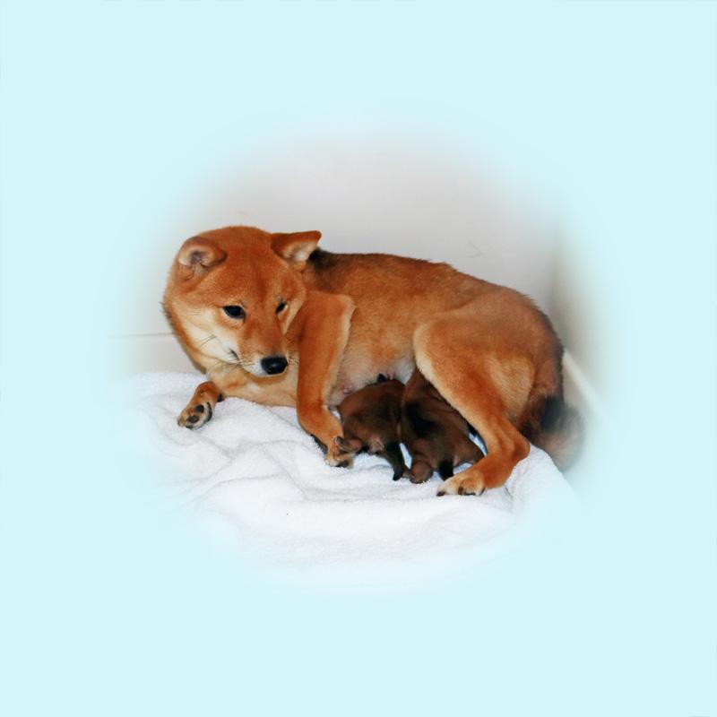 極小豆柴母犬シマちゃん