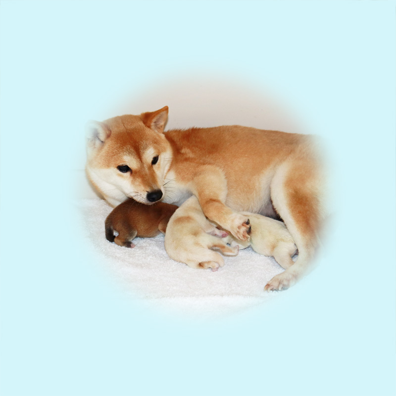 極小豆柴母犬オクラちゃん