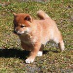 極小豆柴母犬プリフちゃんの子
