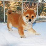 極小豆柴母犬ミルキィちゃんの子b
