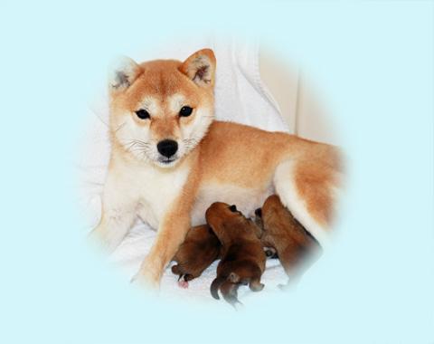 極小豆柴母犬チマちゃん
