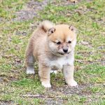 極小豆柴母犬チマちゃんの子b