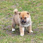 極小豆柴母犬エビちゃんの子