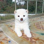 豆柴母犬しのりんちゃんの子b