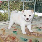 極小豆柴母犬メグミちゃんの子b