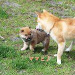 極小豆柴母犬タコちゃんの子