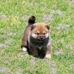 極小豆柴母犬 モエギちゃんの子