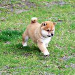 極小豆柴母犬 ミトちゃんの子