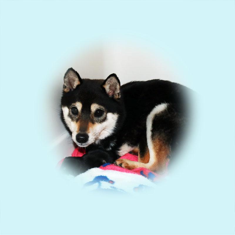 極小豆柴母犬ホマレちゃん