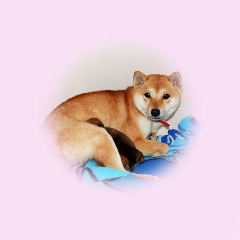極小豆柴母犬せんちゃん