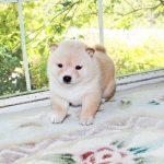 極小豆柴母犬 トエトちゃんの子