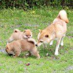 極小豆柴母犬 チヒロちゃん