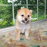 極小豆柴母犬 ニノちゃんの子