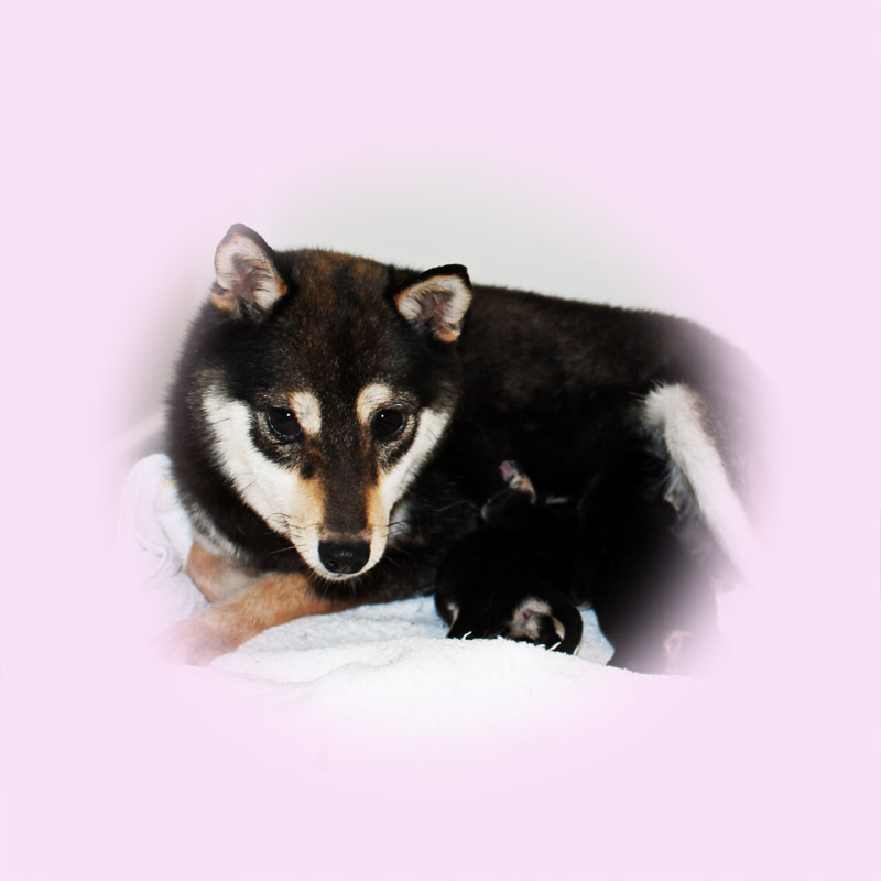 豆芝母犬 ルミちゃん