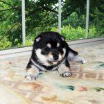 極小豆柴母犬 ルミちゃんの子b