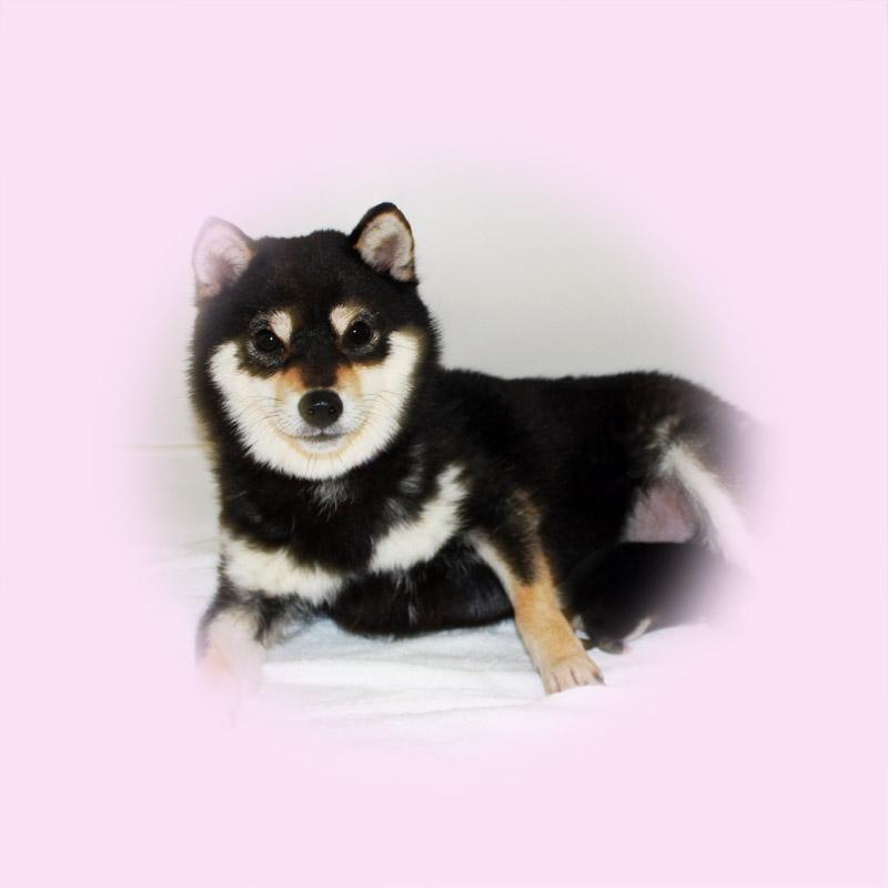 極小豆柴母犬 センちゃん