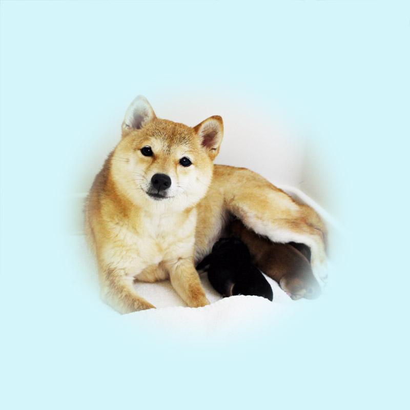 極小豆柴母犬 ハンナちゃん