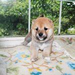 極小豆柴母犬 ライちゃんの子b