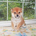 小豆柴母犬 エナガちゃんの子b