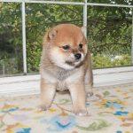 豆柴母犬 キリちゃんの子c