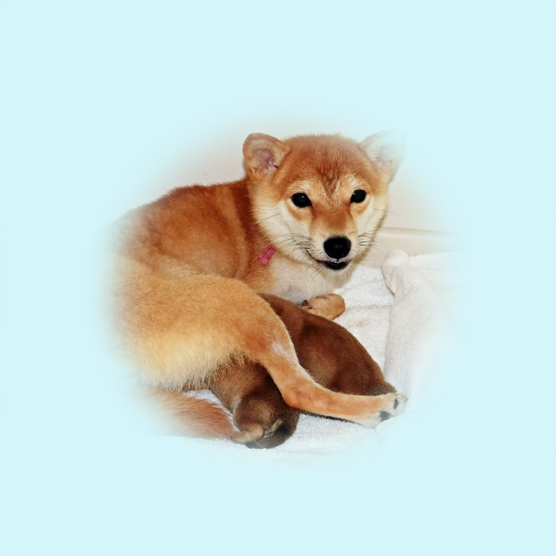 極小豆柴母犬 ミナミちゃん
