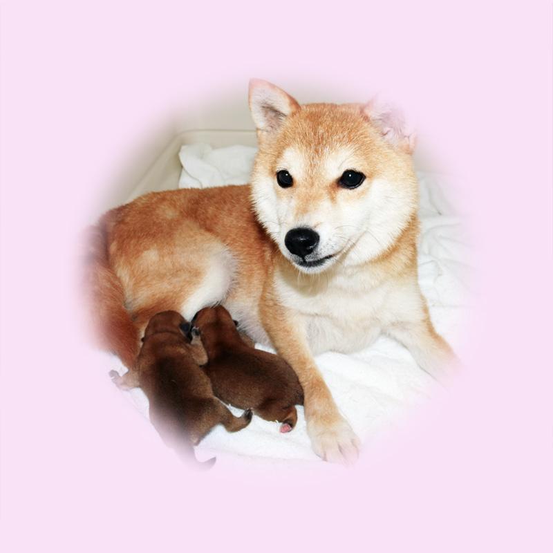 極小豆柴母犬 ミハルちゃん